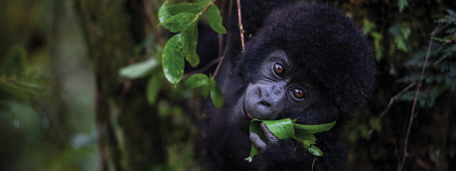 Best Time to Visit Rwanda Gorillas