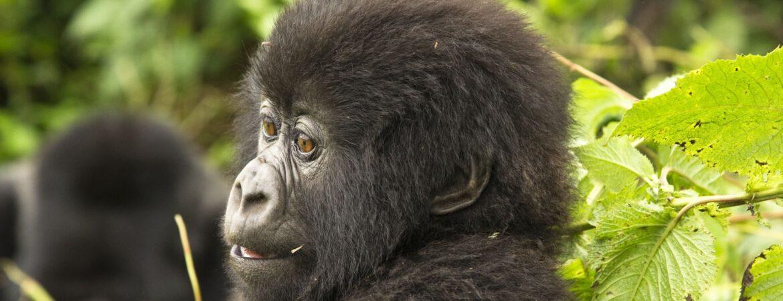 5 Days Mt. Sabinyo & Mgahinga Gorilla Trek