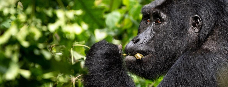 7 Days Uganda Gorilla Circuit