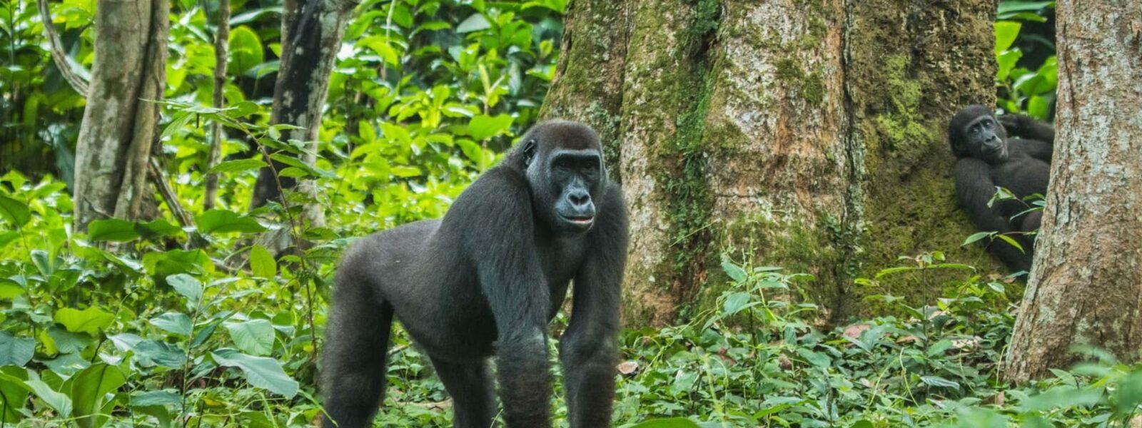 5 Days Lowland Gorillas & Chimpanzee Trekking