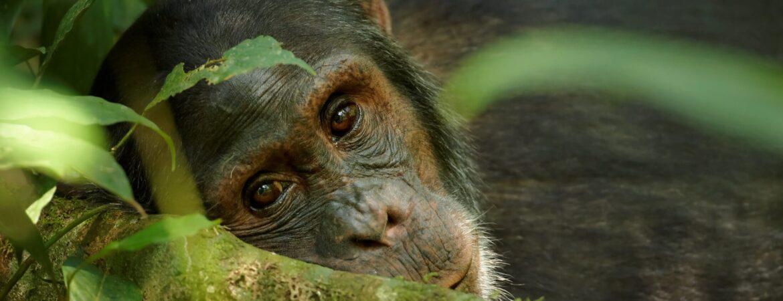 Uganda Chimpanzee Trekking Safaris